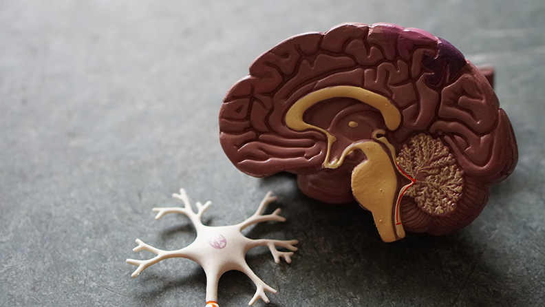 Brain Model Open on Table
